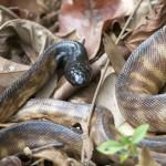 Black-headed Python - photo Jun Matsui