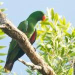 Eclectus Parrot Male - photo Jun Matsui