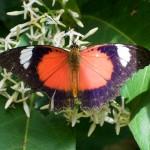 Red Lacewing - photo Jun Matsui