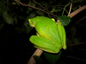 White Lipped Tree Frog - Back