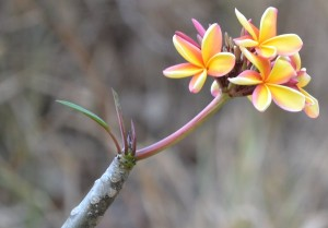Frangipanni in flower