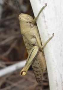 Big grasshopper Portland Roads