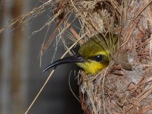 sunbird in nest