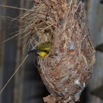 sunbird in nest