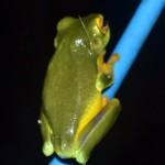 Dainty Green Tree Frog