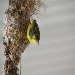 baby sunbird almost falling out of the nest